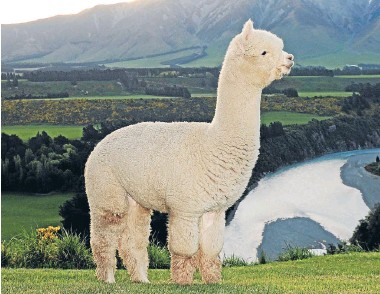 ??  ?? Stoneleigh Valentino's feats in the show ring are unmatched in the alpaca world.