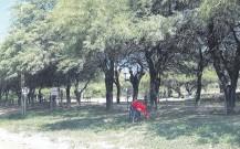 ??  ?? Una mujer indígena recolecta vainas de algarrobo en un parque público de Filadelfia.