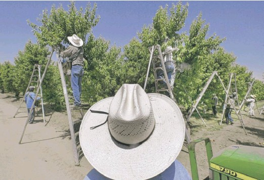 ?? DAMIAN DOVARGANES/AP ?? A foreman watches workers pick fruit in an orchard in Arvin, California. Lawsuits filed in four California counties seek class-action damages from Dow Chemical and its successor company over a widely used bug killer containing Chlorpyrifos that has been linked to brain damage in children.