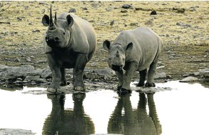 ??  ?? Among the many new types of environmentally conscious bonds available, the World Bank may launch wildlife conservation bonds to protect rhinos in Africa, like these in SA.