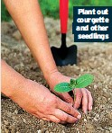 ??  ?? Plant out courgette and other seedlings