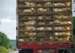 ??  ?? Photo ci-dessus : Transport de poulets aux États-Unis. Le cas des poulets américains lavés au chlore constitue une des sources d'inquiétude des Européens face au risque de nivellement par le bas des normes sanitaires à respecter dans le cadre d'un...