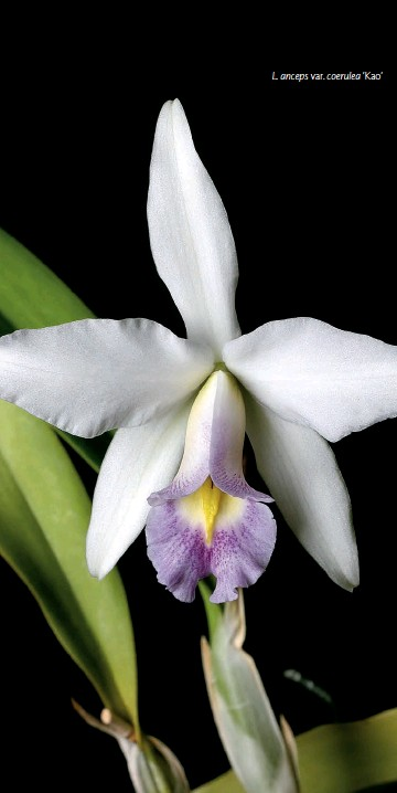 ??  ?? Devido ao fácil cultivo e à boa resistência, esta planta é indicada para os colecionadores iniciantes L. anceps var. coerulea 'Kao'