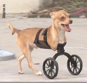 ??  ?? Скутер родился без передних лап - но благодаря 3D-печати у него появился шанс на полноценную жизнь.