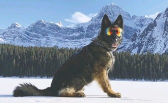 ?? ALBERTA RCMP. ?? Hunter is one of the Alberta RCMP'S busy service dogs.