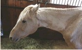??  ?? RESCUED: Pete, a 19-year-old Welsh Pony stallion, was one of 47 neglected horses seized by authorities in South Carolina last spring.