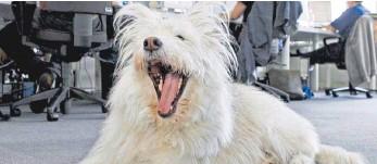 ?? FOTO: UWE ANSPACH/DPA ?? Mundgeruch? Faulige Atemluft bei Hunden sollten Halter immer beim Tierarzt abklären lassen.