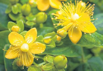 ??  ?? Around the time of the solstice, St. John's wort is considered a special plant because its bright yellow flowers look like the sun.