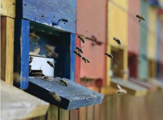 ?? Foto Leon Vidic ?? Pri učenju načina in veščin čebelarjenja Glavar opisuje preglede, ocenjevanje, razvrščanje in označevanje panjev, spremljanje pregledov panjev, dogodkov in ukrepanja ter vodenje čebelarskega registra. Naroča sistematično pregledovanje panjev ter določanje ukrepov čebelarjenja za vsak panj. Opozarja tudi na zdravje čebel.