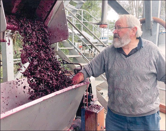 ??  ?? Senior winemaker Chris Pfeiffer of Pfeiffer Wines is pleased with the overall quality of this year's harvest with some really nice flavours in the fruit.