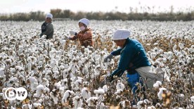 ??  ?? China is accused of forcing its Uyghur population to work in cotton fields