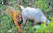 ??  ?? 1. The male nilgai is spotted in the bushes, which are a good 50-metre away from the tigress (which is yet to come into the picture). 2. The nilgai clearly comes into focus and can be seen standing in the bushes. 3. The ST-10 tigress makes her move and...