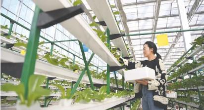 """??  ?? """"田园经济""""助力乡村振兴,图为2月22日,游客在河北省河间市一家现代农业园区体验蔬菜采摘 新华社图"""