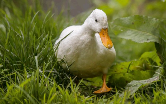 ??  ?? In a small farm setting, Pekin ducklings weigh 6 to 7 pounds, an ideal size for processing, at 7 to 8 weeks of age.