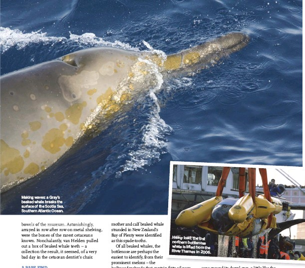 ??  ?? Making waves: a Gray's beaked whale breaks the surface of the Scotia Sea, Southern Atlantic Ocean. Heavy load: the lost northern bottlenose whale is lifted from the River Thames in 2006.
