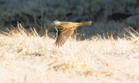 ?? Photos by Scott Strazzante / The Chronicle ?? A whitecrowned sparrow takes flight. Researchers think the birds' songs are more complex in response to quieter surroundings.