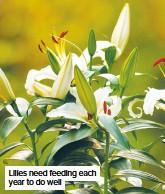 ??  ?? Lilies need feeding each year to do well