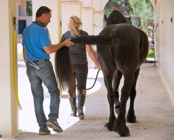 ??  ?? A horse affected with ataxia may sway when his tail is pulled
