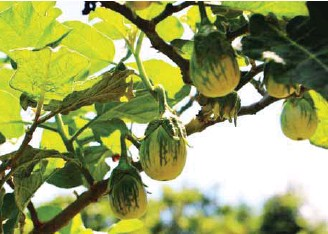 ??  ?? For fruiting vegetables like eggplants, APFF can be applied once a week or once every two weeks during the vegetative stage. During the fruiting stage, APFF should be applied every after harvest. These eggplants in photo started to become vigorous and fruited abundantly after using APFF.