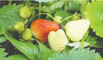 ??  ?? Strawberries get sweeter as they ripen from green, to white, and then finally to a deep red.