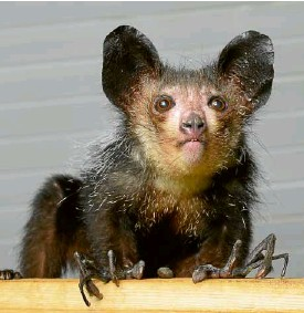 """?? —REUTERS ?? 'PSEUDOTHUMBS' A primate called aye-aye possesses small """"pseudothumbs,"""" complete with their own fingerprints."""
