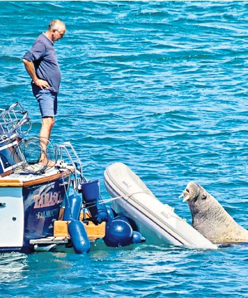 ??  ?? The Arctic mammal tries to lever itself up to bask on yacht tenders using its tusks, puncturing rubber dinghies in the Isles of Scilly