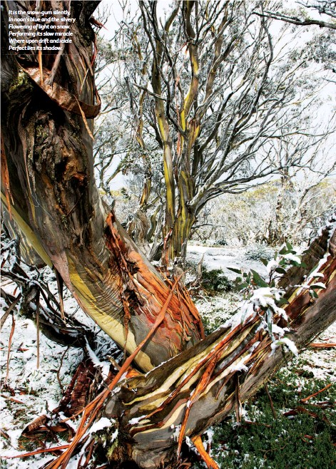 """??  ?? The iconic trees of the Australian High Country inspired Australian poet Douglas Stewart's musing """"The Snow-Gum"""". It is the snow-gum silently, In noon's blue and the silvery Flowering of light on snow. Performing its slow miracle Where upon drift and icicle Perfect lies its shadow."""