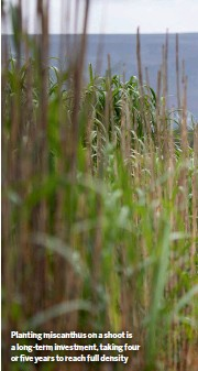 ??  ?? Planting miscanthus on a shoot is a long-term investment, taking four or five years to reach full density