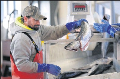 ?? THE ASSOCIATED PRESS ?? Aworkerweighed and sorted pollack at the Portland Fish Exchange in Maine on March 25. Seafood imports fell about 37% and exports about43% over the first nine months of the year compared to 2019, according to a recent study in Fish and Fisheries.