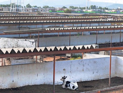 ?? PHOTOS BY MARK HOFFMAN/USA TODAY NETWORK ?? A cow rests in an empty breeding center in Tizayuca, Mexico. The center is part of a dairy farm complex north of Mexico City.