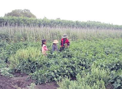 ??  ?? OIT y Cepal estiman que el trabajo infantil podría aumentar entre 1 y 3 puntos porcentuales en la región.