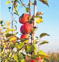 ??  ?? JAZZ apple orchard in Kent, UK — days before the new season harvest.