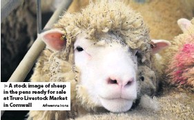 ?? Athwenna Irons ?? > A stock image of sheep in the pens ready for sale at Truro Livestock Market in Cornwall