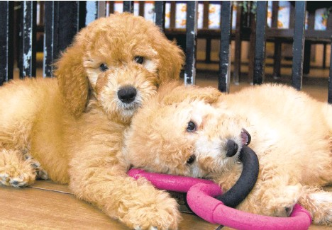 ?? JOSE LUIS MAGANA/AP ?? Puppies play in a cage at a pet store in Columbia, Maryland, in 2019. The latest online scam involves cute puppies that will be delivered to adopters for price. The puppies don't exist.