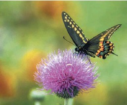 ?? Getty Images ?? A black swallowtail rests on a Texas thistle. Tyra Damm looks back at the time her grandmother drove her around Central Texas in search of wildflowers for a school project.