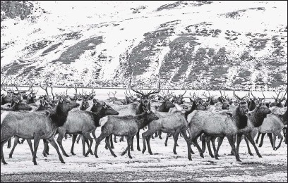 ?? 2017, JACKSON HOLE NEWS & GUIDE VIA THE ASSOCIATED PRESS ?? Elk make theirway to the feed line on the National Elk Refuge north of Jackson, Wyo. Elk are being fed in the Greater Yellowstone area this winter amid concern that concentrating thousands of animals on feed could make it easier for chronicwasting disease to spread.