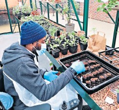??  ?? Curtis Fraser tending plants in the greenhouse Horatio's Garden London & South East in Stanmore