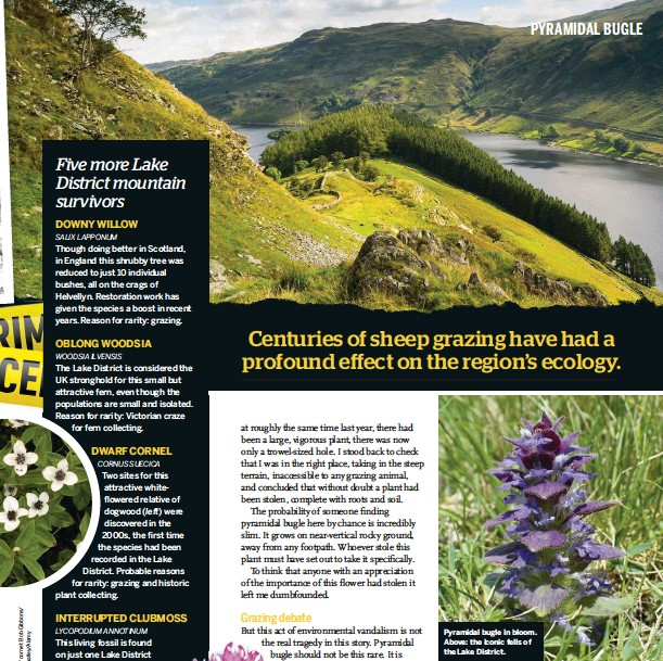 ??  ?? Pyramidal bugle in bloom. Above: the iconic fells of the Lake District.