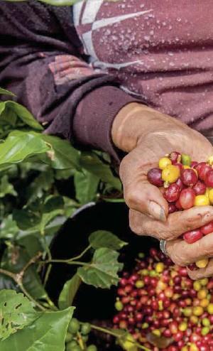 ??  ?? En Colombia hay 39.239.481 hectáreas de agricultura tradicional que son 34 % del territorio nacional.