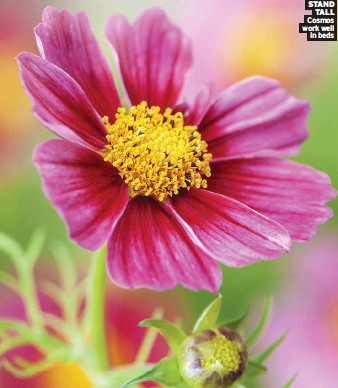 ??  ?? STANd TAll Cosmos work well in beds