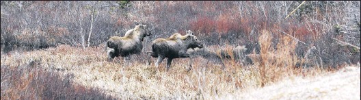 ??  ?? Two moose run near the Health Sciences Centre in St. John's during rushhour in this April 2015 photo. They were finally herded back into the woods. Telegram file