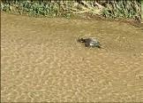 ?? (DR) ?? Une ou plusieurs tortues ont été vues, photographiées et filmées par des internautes dans la Cagne.