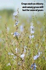 ??  ?? Crops such as chicory and canary grass will last for several years