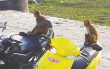 ?? VIOLET ST. CLAIR ?? Where else might you see macaques on motorbikes?