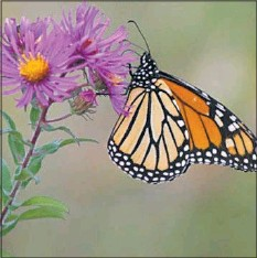 ?? PHOTOS COURTESY OF U.S. FISH AND WILDLIFE SERVICE ?? A Monarch Butterfly pollinates a New England Aster.