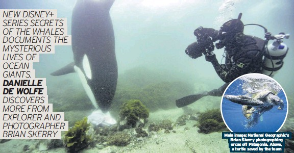 ??  ?? Main image: National Geographic's Brian Skerry photographing orcas off Patagonia. Above, a turtle saved by the team