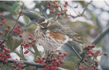 ??  ?? A redwing among cotoneaster berries.