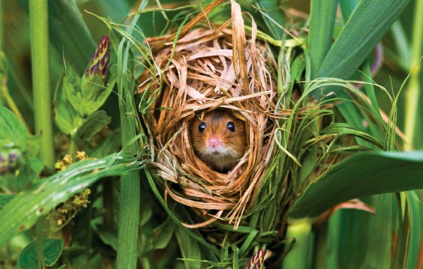 ??  ?? Above: the size of a harvest mouse nest can vary from 5cm wide to 10cm for breeding. Below: this species weighs in at less than a two-pence piece.