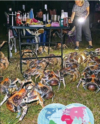 ??  ?? Det krabbet kokoskrabber overalt da familiene prøvde å spise. De største kokoskrabbene kan bli 80 år gamle.