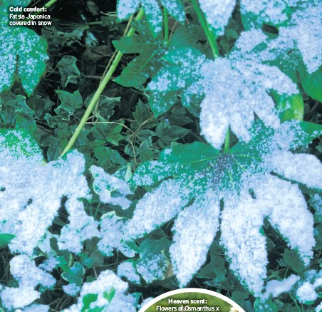 ??  ?? Cold comfort: Fatsia Japonica covered in snow